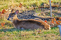 Cold young doe resting in the afternoon sun. Image taken with a Fuji X-T2 camera and 100-400 mm OIS lens (ISO 200, 400 mm, f/5.6, 1/90 sec).