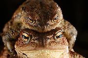 Common toad (Bufo bufo) Solling in the Central German Upland. Selent, Germany | Erkröten-Paar (Bufo bufo) auf der Wanderung zum Laichgewässer. Die größeren Krötenweibchen kommen meist schon mit einem Männchen im Huckepack am Gewässer an. Selent, Deutschland