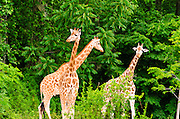 Giraffes in the zoo at Parc de la Tete d'Or, Lyon, France (UNESCO World Heritage Site)