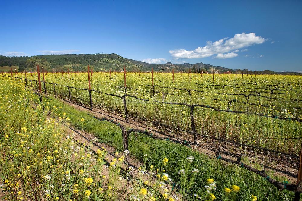 Wild mustard blooming in a vineyard in Napa, California.