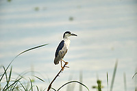 Black-crowned Night Heron (Nycticorax  nycticorax) perched on branch besid, Lake Chapala, Jalisco, Mexico