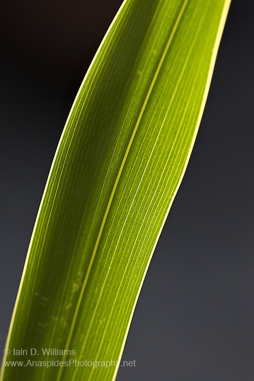 Backlit Leaf, Tasmania