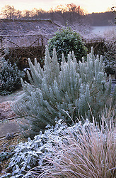 The gravel garden at Ketley's in winter with Stipa arundinacea, Salvia officinalis 'Berggarten' and Rosemary