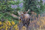 Bull moose in habitat