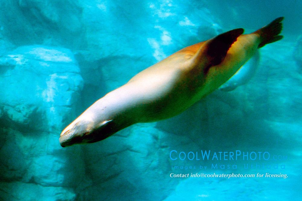 California sea lion (c), Zalophus californianus, California, East Pacific Ocean