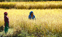 October 20, 2016 - Kathmandu, Nepal - Nepalese farmers harvests paddy in Bade gaun village at Lalitpur, on the outskirts of Kathmandu, Nepal on October 20, 2016. (Credit Image: © Sunil Pradhan/NurPhoto via ZUMA Press)