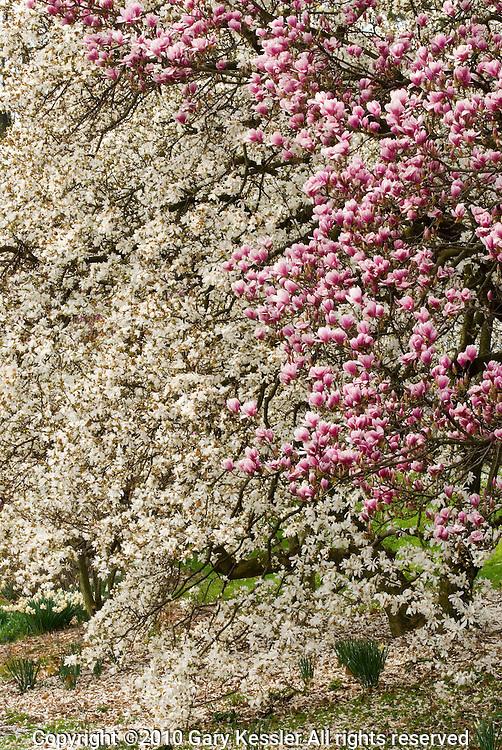 Magnolia and Dogwood Trees