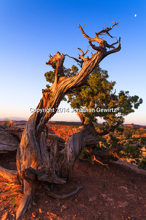 The moon sets at sunrise behind a gnarled pine tree in the desert highlands of Canyonlands National Park, Utah.<br /> <br /> WATERMARKS WILL NOT APPEAR ON PRINTS OR LICENSED IMAGES.<br /> <br /> Licensing: https://tandemstock.com/assets/71641608