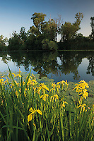 Yellow flag iris (Iris pseudacorus) and yellow water-lily (Nuphar lutea) with white willow (Salix alba) trees, along a channel of the Hutovo Blato Nature Park. Bosnia-Herzegovina.<br /> Elio della Ferrera / Wild Wonders of Europe