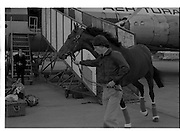 Arrival of Ninski Major and Torus.   (M95)..1979..11.10.1979..10.11.1979..11th October 1979..With the Irish St Ledger to be run, on Saturday 13th Oct, two of the race favourites landed at Dublin Airport today. Ninski Major to be ridden by Willie Carson and Torus to be ridden by John Reid unloaded from the Aer Turas animal transport..Image shows Torus being led down the ramp of the Aer Turas transporter before being brought to the Curragh,Co KIldare.