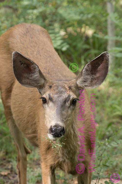 Mule deer doe chews browse, Jemez Mountains,, NM, © David A. Ponton
