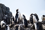 A macaroni penguin stands at the back of a number of Chin strap penguins on Saturday 17 February 2018.