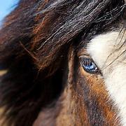 Blue-eyed Icelandic horse at Arnarstapi on the Snaefellsnes Peninsula in western Iceland.