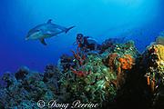 Spot, a wild, lone, male sociable bottlenose dolphin, Tursiops truncatus, with Jason Belport, Cayman Islands ( Caribbean Sea ) MR 281
