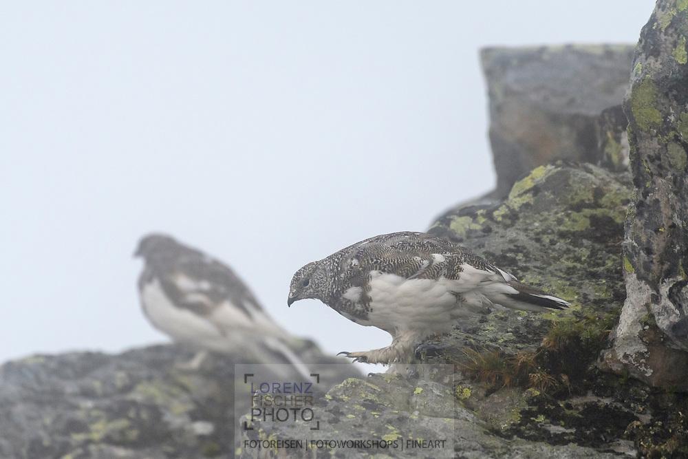 Two rock ptarmigans (Lagopus muta) on a foogy afternoon, Niederhorn, Interlaken, Berne, Switzerland