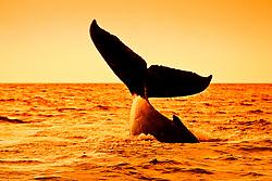 Humpback Whale, lobtailing at sunset, Megaptera novaeangliae, Hawaii, Pacific Ocean