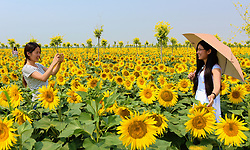June 17, 2017 - Tourists take photos at a sunflower field in Xiaozhai Township of Jizhou District in Hengshui City, north China's Hebei Province. As local government promotes the eco-agricultural business in recent years, sunflowers in full blossom attract many tourists. (Credit Image: © Wang Xiao/Xinhua via ZUMA Wire)