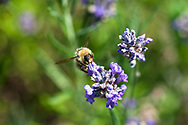 A Bumblebee (Genus: Bombus) on a Lavender Flower in the Fraser Valley of British Columbia, Canada.
