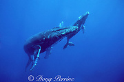 humpback whale mother and calf, Megaptera novaeangliae, Kona, Hawaii, USA (Pacific); caption must include notice that photo was taken under NMFS research permit #882