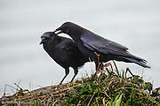 The crow walked up to its mate and began to preen indivudual feathers.  This allopreening is important in building pair bond between the mates.