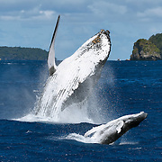 Humpback whale (Megaptera novaeangliae) female breaching together with her male calf. The calf had a large wound on his left peduncle area, one that appeared to be the result of a large bite. It was healing well. The calf had a propensity to stray for substantial distances from his mother. He was also thin for his size, though highly energetic.