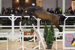 082, Important Style VK<br /> BWP Hengsten keuring Koningshooikt 2015<br /> © Hippo Foto - Dirk Caremans<br /> 21/01/16
