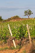 Vineyard. Rivesaltes town, Roussillon, France
