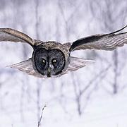 Great Gray Owl, (Strix nebulosa) Adult in flight, hunting. Canada.