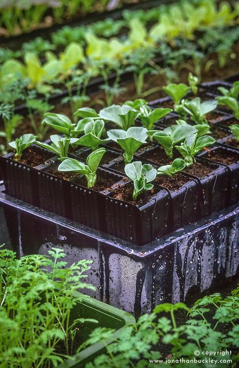 Broad bean seedlings in root trainers