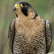 Peregrine Falcon (Falco peregrinus).  Captive Animal