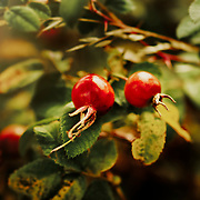 Colourful Red Rose Hips In A Hedgerow In The Autumn