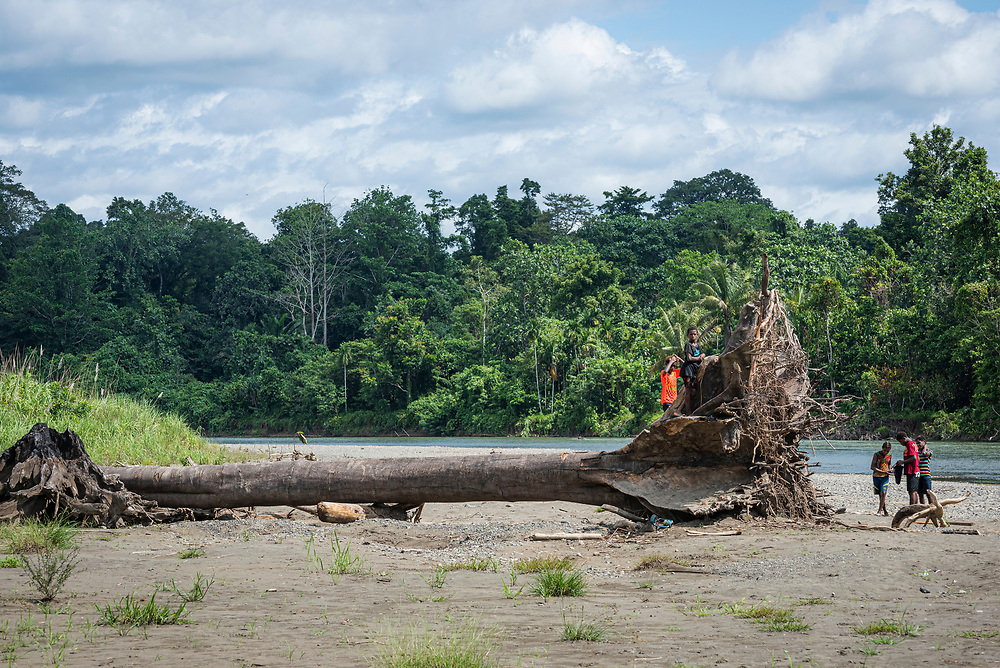 An uprooted tree rests on the banks of the Clay River in Likan, East Sepik Province, Papua New Guinea.<br /> <br /> (June 20, 2019)