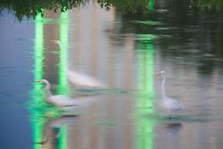 Great Egret in pond near Trinity River beneath Margaret Hunt Hill Bridge and downtown, Dallas, Texas, USA.