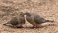 A pair of Mourning Doves, Zenaida macroura, in courtship behavior in the Desert Botanical Garden, Phoenix, Arizona