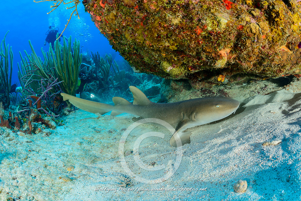 Ginglymostoma cirratum, Atlantischer Ammenhai und Taucher, Atlantic Nurse shark, and scuba diver, Insel Cooper, Britische Jungferninsel, Karibik, Karibisches Meer, Cooper Island, British Virgin Islands, BVI, Caribbean Sea