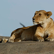 African Lion (Panthera leo) Young lion resting on rocks. Serengeti National Park. Tanzania. Africa. February.