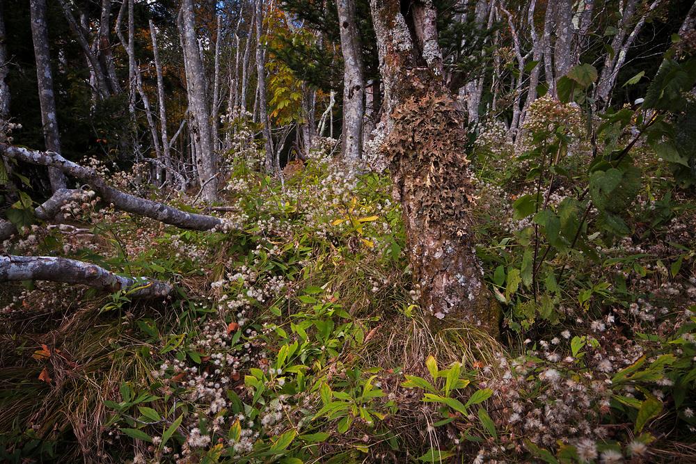 Dead Forest, Beech Gap Community, Beech Bark Disease