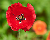 Red Poppy Flower. Image taken with a Nikon D850 camera and 105 mm f/2.8 VR macro lens.