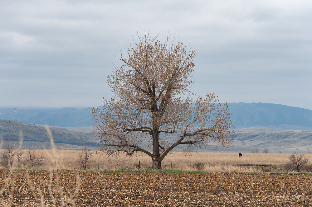 The view towards the Big Horn Mountains from Clayvin Herrera's home and his favorite cottonwood tree.