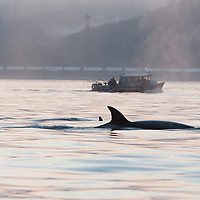 A pod of transient killer whales (Orcinus orca) make their way up the shoreline just off of Golden Gardens, in Seattle, Washington. Transient orcas are mammal eaters, dining primarily on seals and sea lions. Photo by William Drumm.