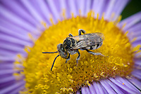 Insect collecting pollen on Feabane (Erigeron) blossom