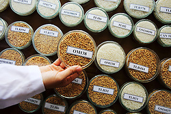 Rice grain samples. Technical staff are working to develop saline resistant rice at the Cửu Long Delta Rice Research Institute, Can Tho, Vinh Long Province, Vietnam