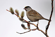 Golden-crowned Sparrow - Zonotrichia atricapilla - adult