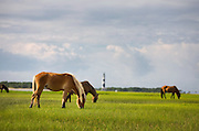 Horses grazing at Shackleford Banks, outside of Cape Lookout, North Carolina