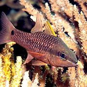 Iridescent Cardinalfish inhabit reefs. Picture taken Beangabang Bay, Pantar, Indonesia.