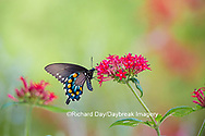 03004-01412 Pipevine Swallowtail butterfly (Battus philenor)  male on red pentas Ipentas lanceolata)  Marion Co., IL