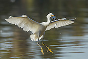 Touchdown - a Snowy Egret with its catch.