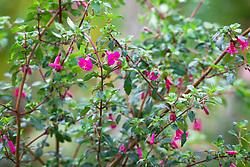 Fuchsia 'Lottie Hobby' AGM