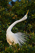 Stock photo of great egret captured in Florida.  A patch os skin on the face turns green during breeding season.