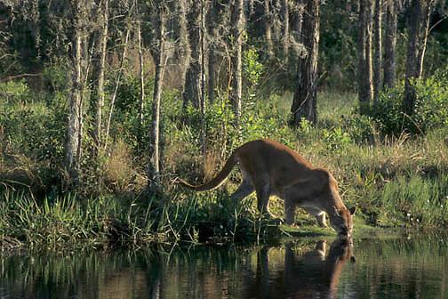 Florida Panther, (Felis concolor coryi) Endangered Species. Florida Everglades. Captive Animal.